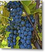 Grapes On A Vine Sutton Junction Quebec Metal Print