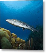 Great Barracuda, Belize Metal Print