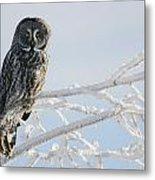 Great Grey Owl, Northern British Metal Print