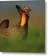 Greater Prairie Chicken Male Metal Print by Tim Fitzharris