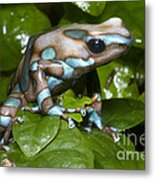 Green And Black Poison Frog Metal Print