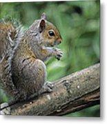 Grey Squirrel Metal Print by David Aubrey