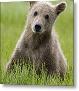 Grizzly Bear Ursus Arctos Horribilis Metal Print
