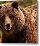 Grizzly Bear, Yukon Metal Print