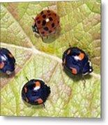 Harlequin Ladybirds Metal Print