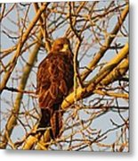 Hawk In A Tree Metal Print