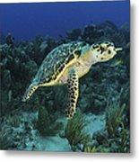 Hawksbill Turtle On Caribbean Reef Metal Print