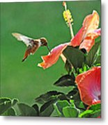 Hibiscus Hummer Metal Print