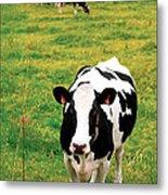 Holstein Dairy Cattle Metal Print