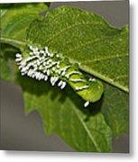 Hornworm With Braconid Wasp Parasites 2 Metal Print