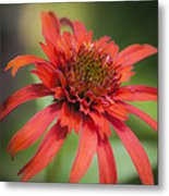 Hot Papaya Coneflower Squared Metal Print