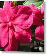 Impatiens Named Dazzler Burgundy Metal Print