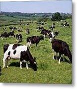 Ireland Friesian Cattle Metal Print