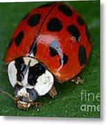 Ladybird Beetle Metal Print
