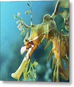 Leafy Sea Dragon Metal Print by Peter Scoones