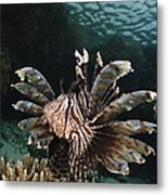 Lionfish, Indonesia Metal Print