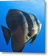 Longfin Spadefish, Papua New Guinea Metal Print