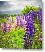 Lupins In Newfoundland Meadow Metal Print
