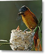 Madagascar Paradise Flycatcher Metal Print