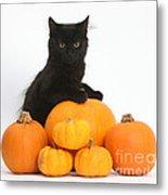 Maine Coon Kitten And Pumpkins Metal Print