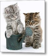 Maine Coon Kitttens Metal Print