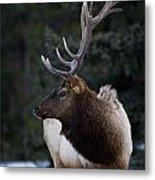 Male Elk Cervus Canadensis Metal Print by Richard Wear
