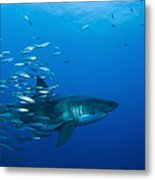 Male Great White Shark And Bait Fish Metal Print