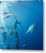 Male Great White Shark And Divers Metal Print