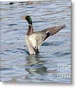 Mallard Duck Showing Off Metal Print