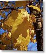 Maple In Fall Metal Print