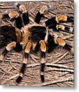 Mexican Red-legged Tarantula Metal Print