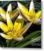 Mini Botanical Tulip Named Dasystemon Tarda Metal Print