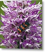Monkey Orchid (orchis Simia) Metal Print