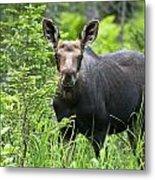 Moose. Two Month Old Moose Standing Metal Print