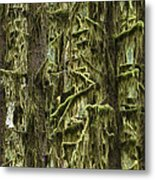 Moss Covered Trees, Hoh Rainforest Metal Print