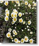 Mountain Avens (dryas Octopetala) Metal Print
