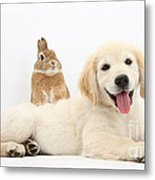 Netherland-cross Rabbit And Golden Metal Print