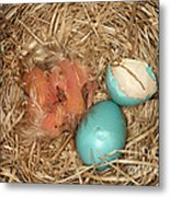 Newborn Robin Nestlings Metal Print