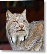 North American Lynx Metal Print by Paul Fell
