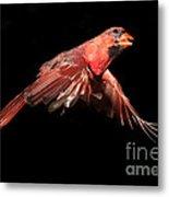 Northern Cardinal In Flight Metal Print