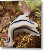 Nudibranch Feeding On The Reef, Fiji Metal Print