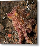 Ocellate Octopus With Two Blue Spots Metal Print