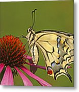 Oldworld Swallowtail Papilio Machaon Metal Print
