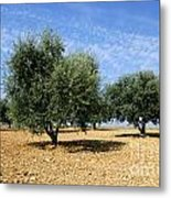 Olives Tree In Provence Metal Print