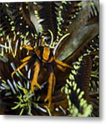 Orange And Brown Elegant Squat Lobster Metal Print