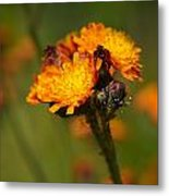 Orange Hawkweed Metal Print