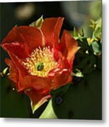 Orange Prickly Pear Blossom  Metal Print