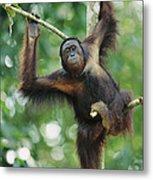 Orangutan Pongo Pygmaeus Adult Sitting Metal Print