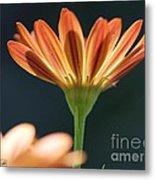 Osteospermum Named Sunadora Palermo Metal Print