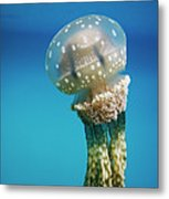 Papuan Jellyfish Mastigias Papua, Palau Metal Print